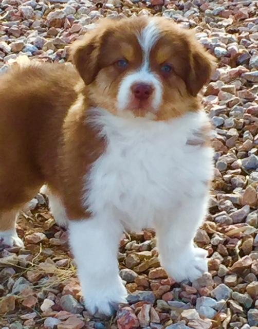Bob - Australian Shepher puppy in Arizona