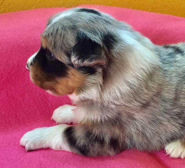 Chica - AZ Australian Shepherd puppy