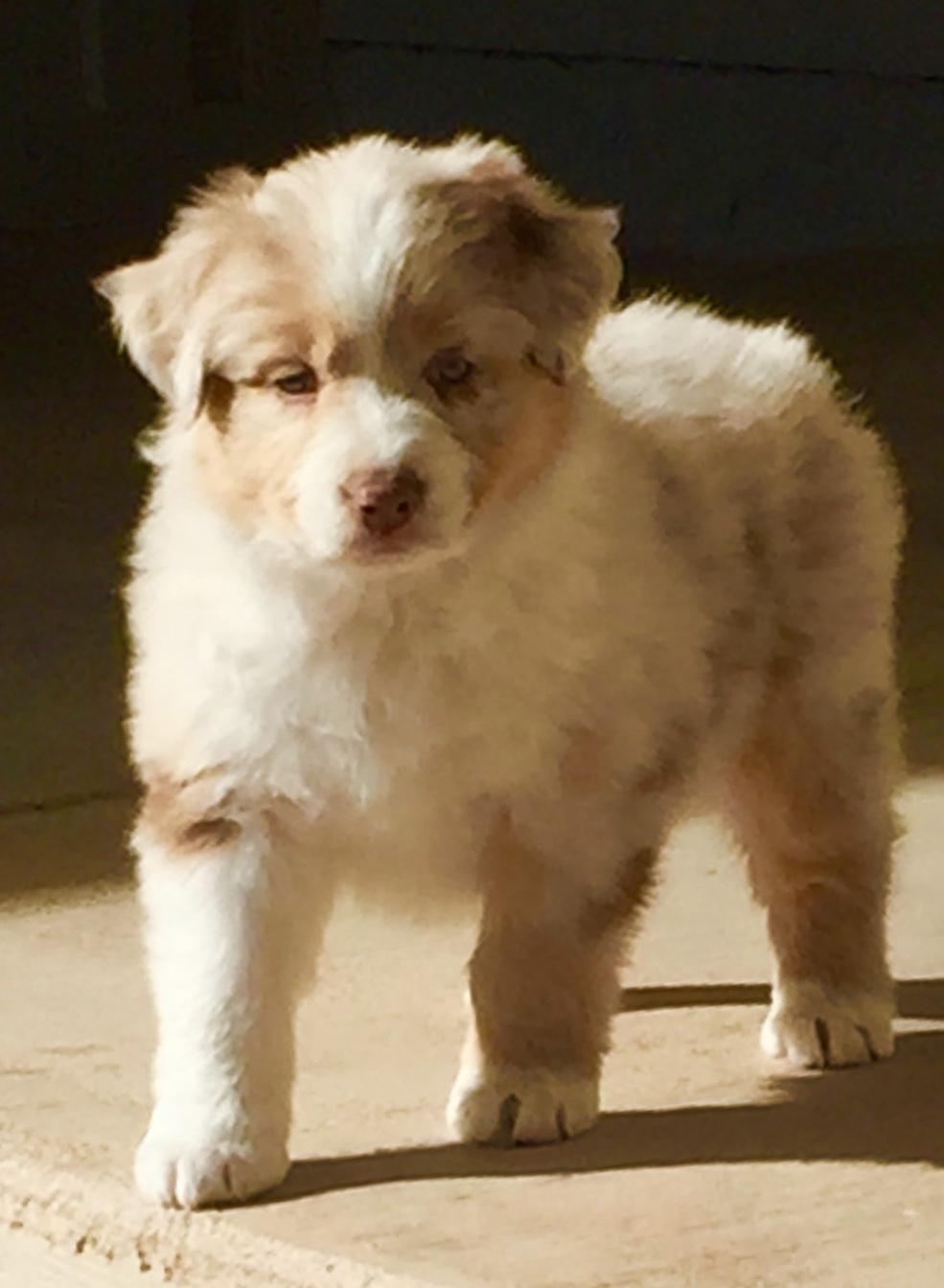 Arizona Aussie pup - Cory