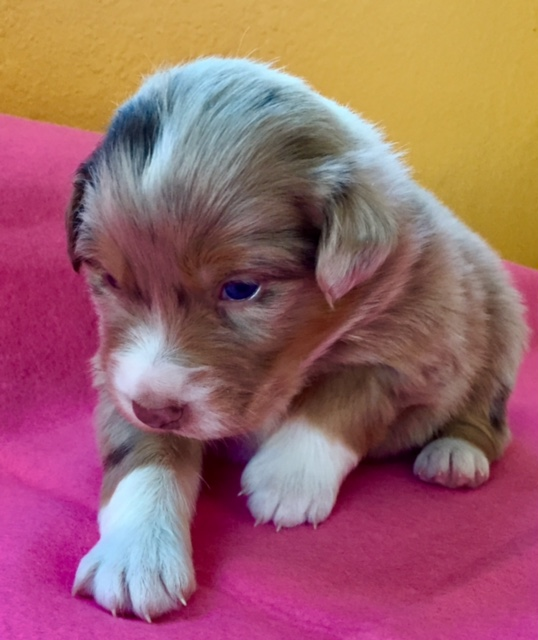 Jailhouse Aussie Pup Arizona