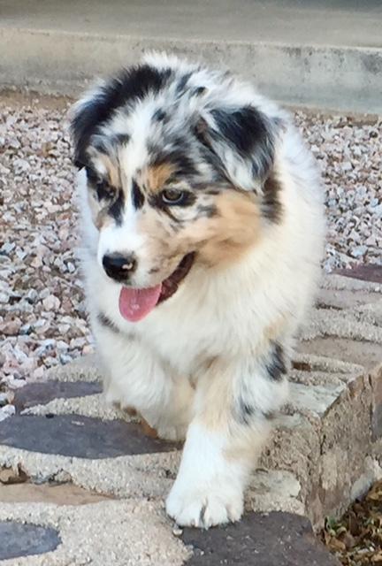 Arizona Aussie pup - Jake