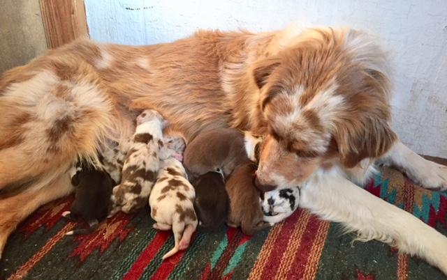 Jazz and Ruger Australian Shepherd pups