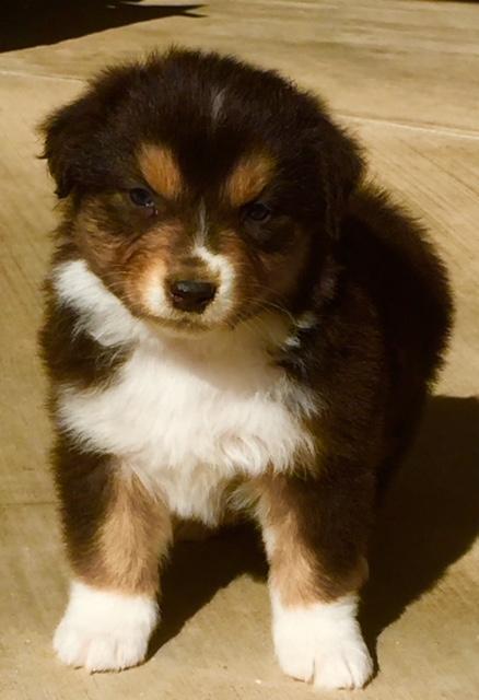 Arizona Australian Shepherd puppy for sale - Maggie