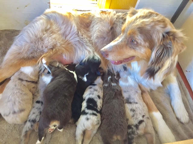Arizona Australian Shepherd Puppies