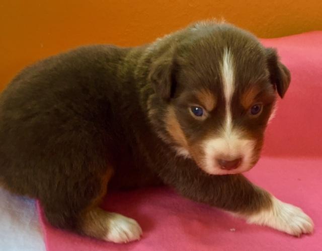Arizona Australian Shepherd Puppy