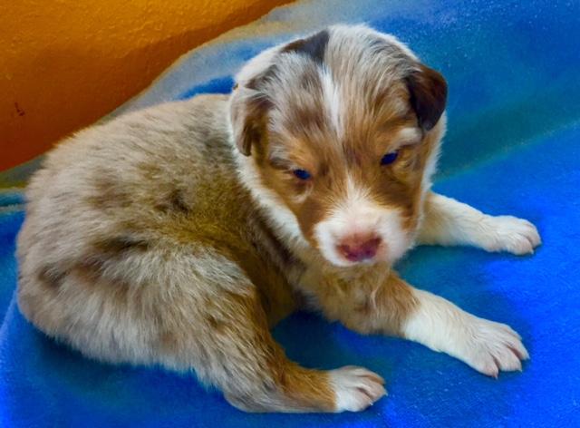 AZ Australian Shepherd Puppy