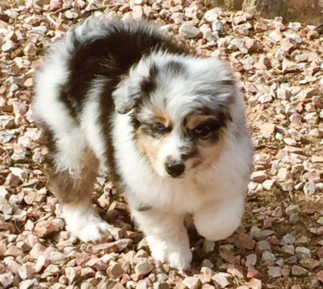 Australian Sheperd puppy in Arizona for sale - Rumley