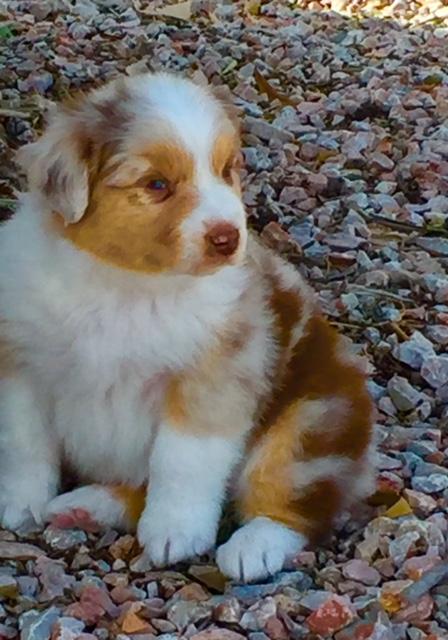 Todd - Arizona Australian Shepherd puppy for sale