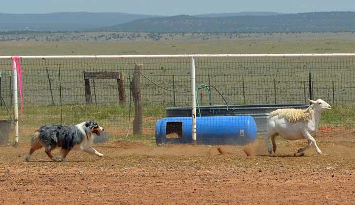 Champion Australian Shepherds