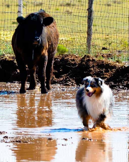 Billy the Australian Shepherd