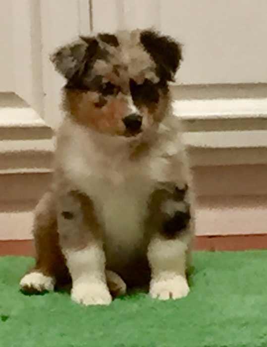 Chica - Australian Shepherd puppy