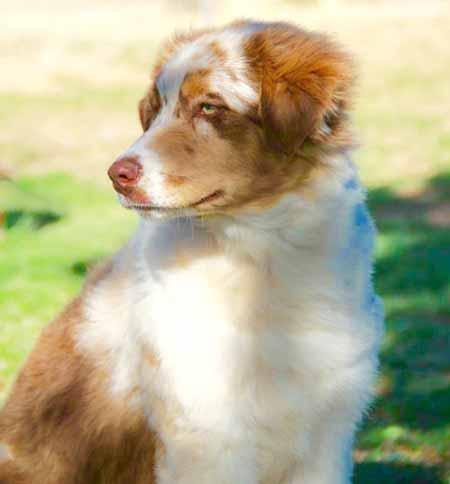 Aussie Pup Jazz