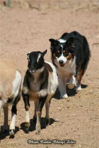 Australian Shepherd Kate