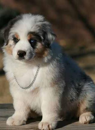 Aussie Pup Luke Short