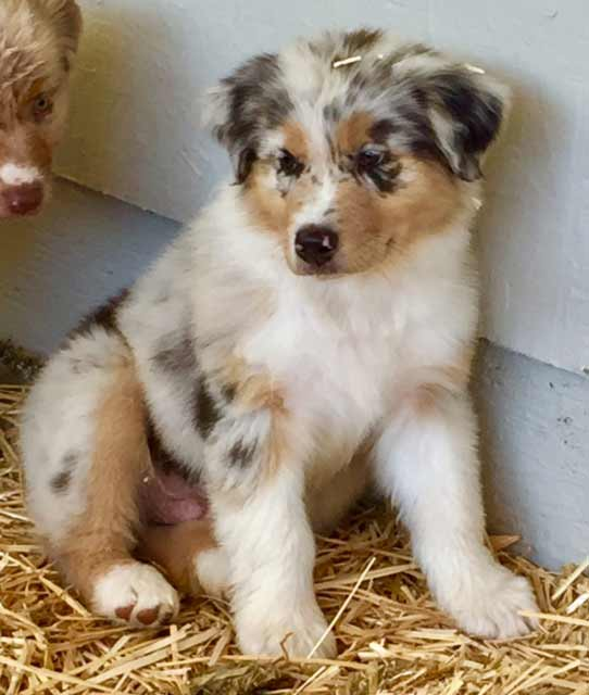 Macho - Arizona Aussie Puppy