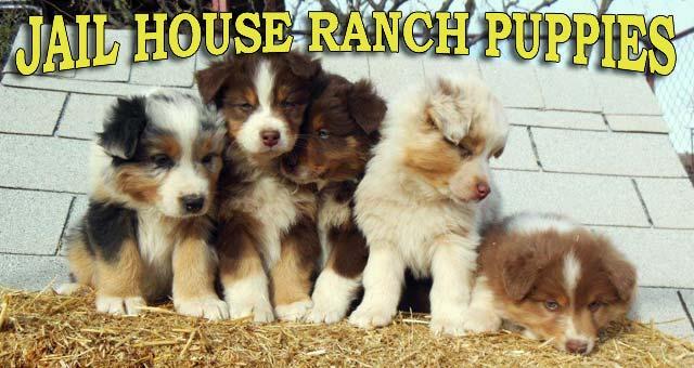 Arizona Australian Shepherd Puppies