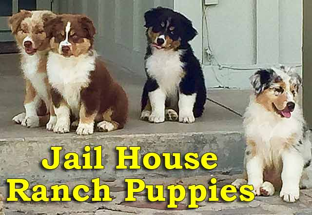 Arizona raised Australian Shepherd Puppies