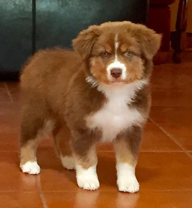 Rosa - Arizona Aussie Pup
