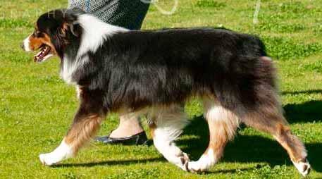 Aussie Show Dogs