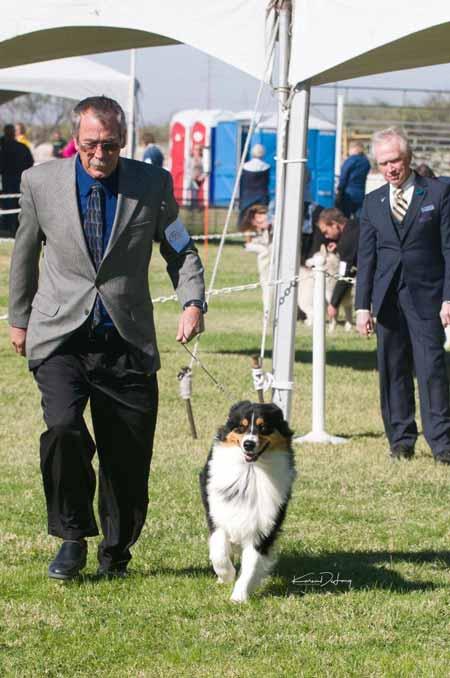 Aussie Show Dog Tyler
