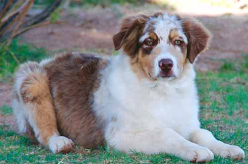 Arizona Australian Shepherd - Jazz