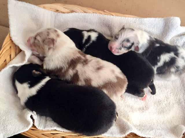 Australian Shepherd Puppies for sale in Arizona